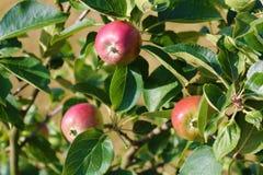 όμορφο διάνυσμα δέντρων απεικόνισης μήλων ώριμος περίπατος δέντρων κήπων καρπού ημέρας φθινοπώρου μήλων Ένωση της Apple σε έναν κ Στοκ Εικόνες