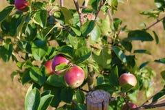 όμορφο διάνυσμα δέντρων απεικόνισης μήλων ώριμος περίπατος δέντρων κήπων καρπού ημέρας φθινοπώρου μήλων Ένωση της Apple σε έναν κ Στοκ εικόνες με δικαίωμα ελεύθερης χρήσης