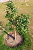 όμορφο διάνυσμα δέντρων απεικόνισης μήλων ώριμος περίπατος δέντρων κήπων καρπού ημέρας φθινοπώρου μήλων Ένωση της Apple σε έναν κ Στοκ εικόνα με δικαίωμα ελεύθερης χρήσης