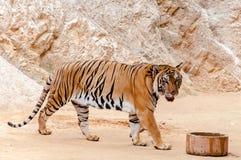 Όμορφο δείγμα της τίγρης της Βεγγάλης στοκ εικόνα με δικαίωμα ελεύθερης χρήσης
