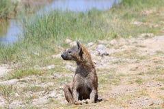 Όμορφο ενήλικο διάστικτο hyena Στοκ Εικόνες