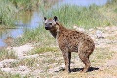 Όμορφο ενήλικο διάστικτο hyena Στοκ Εικόνα