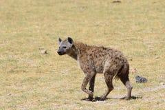 Όμορφο ενήλικο διάστικτο hyena Στοκ Φωτογραφίες