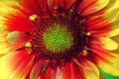 Όμορφο ενιαίο απομονωμένο λουλούδι κήπων αφηρημένη ανασκόπηση Διάστημα στο υπόβαθρο για το αντίγραφο, κείμενο, οι λέξεις σας Στοκ Εικόνες