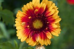 Όμορφο ενιαίο απομονωμένο λουλούδι κήπων αφηρημένη ανασκόπηση Διάστημα στο υπόβαθρο για το αντίγραφο, κείμενο, οι λέξεις σας Στοκ Φωτογραφίες
