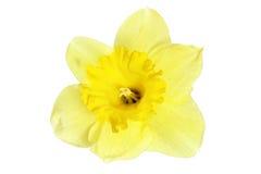 Όμορφο ενιαίο λουλούδι άνοιξη: κίτρινοι νάρκισσοι (Daffodil) Στοκ Φωτογραφία