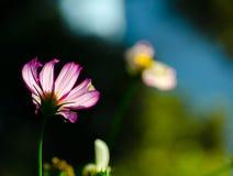 Όμορφο ενιαίο πορφυρό λουλούδι κόσμου στη σκοτεινή εικόνα τόνου στοκ φωτογραφίες με δικαίωμα ελεύθερης χρήσης