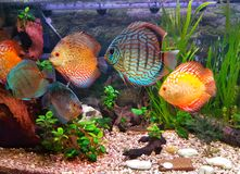Όμορφο ενυδρείο με το discus ψαριών Στοκ εικόνα με δικαίωμα ελεύθερης χρήσης