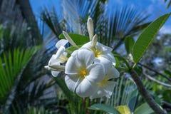 Όμορφο εξωτικό λουλούδι αποκαλούμενο Plumeria Ταϊλάνδη Στοκ Εικόνα
