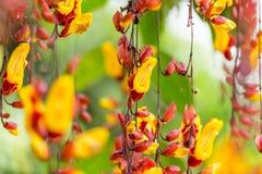 Όμορφο εξωτικό λουλούδι mysorensis Thunbergia Στοκ Εικόνα