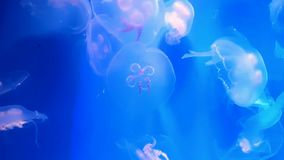 Όμορφο επιπλέον σώμα μεδουσών στο μπλε νερό απόθεμα βίντεο
