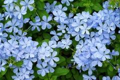 όμορφο λεπτό μπλε jasmin στον κήπο Στοκ φωτογραφία με δικαίωμα ελεύθερης χρήσης