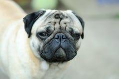 Όμορφο εσωτερικό σκυλί με τα λοξά μάτια Στοκ εικόνα με δικαίωμα ελεύθερης χρήσης