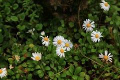 όμορφο λευκό μαργαριτών Στοκ φωτογραφίες με δικαίωμα ελεύθερης χρήσης