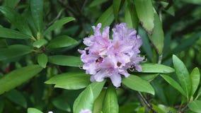 Όμορφο λευκό με τα πορφυρά rhododendron λουλούδια σε ένα φυσικό υπόβαθρο απόθεμα βίντεο