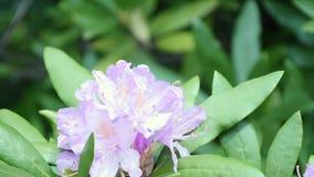 Όμορφο λευκό με τα πορφυρά rhododendron λουλούδια σε ένα φυσικό υπόβαθρο φιλμ μικρού μήκους