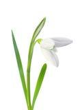 Όμορφο λευκό λουλουδιών snowdrop που απομονώνεται στο λευκό Στοκ Φωτογραφίες