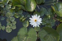 όμορφο λευκό λωτού Στοκ φωτογραφία με δικαίωμα ελεύθερης χρήσης
