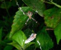 Όμορφο ευρωπαϊκό λευκό - κίτρινη αράχνη με το πράσινο υπόβαθρο ( Στοκ Φωτογραφίες