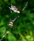 Όμορφο ευρωπαϊκό λευκό - κίτρινη αράχνη με το πράσινο υπόβαθρο ( Στοκ εικόνα με δικαίωμα ελεύθερης χρήσης