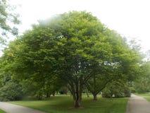 Όμορφο ευρύ πράσινο δέντρο Στοκ φωτογραφίες με δικαίωμα ελεύθερης χρήσης