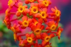 Όμορφο ζωηρόχρωμο λουλούδι lantana Στοκ φωτογραφίες με δικαίωμα ελεύθερης χρήσης