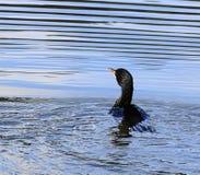 Όμορφο ζωηρόχρωμο πουλί στο νερό με τους κυματισμούς στοκ εικόνες
