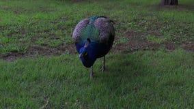 Όμορφο ζωηρόχρωμο peacock στην πράσινη χλόη στο πάρκο απόθεμα βίντεο