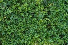 Όμορφο ζωηρό πράσινο φύλλο, φρέσκο φύλλο για το blackground Στοκ φωτογραφία με δικαίωμα ελεύθερης χρήσης