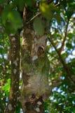 Όμορφο ζώο στο βιότοπο φύσης Νωθρότητα που κρύβεται στη σκούρο πράσινο βλάστηση Στοκ Εικόνες