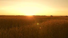 Όμορφο ηλιοβασίλεμα με την επαρχία πέρα από έναν τομέα του σίτου ώριμα αυτιά σίτου στον τομέα ο ήλιος φωτίζει τις συγκομιδές σίτο απόθεμα βίντεο