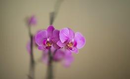 όμορφο δημιουργημένο orchid ρόδινα CP ανασκόπησης Στοκ Εικόνες