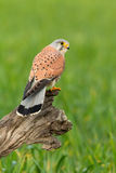 όμορφο θήραμα πουλιών Στοκ εικόνα με δικαίωμα ελεύθερης χρήσης