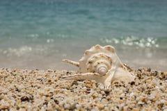 όμορφο θαλασσινό κοχύλι στη μικρή παραλία χαλικιών Στοκ φωτογραφία με δικαίωμα ελεύθερης χρήσης