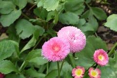 Όμορφο θαμνώδες και μαλακό ρόδινο λουλούδι Στοκ εικόνες με δικαίωμα ελεύθερης χρήσης