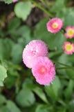 Όμορφο θαμνώδες και μαλακό ρόδινο λουλούδι Στοκ Εικόνα