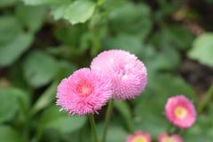 Όμορφο θαμνώδες και μαλακό ρόδινο λουλούδι Στοκ εικόνα με δικαίωμα ελεύθερης χρήσης