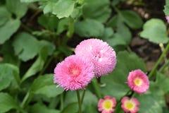 Όμορφο θαμνώδες και μαλακό ρόδινο λουλούδι Στοκ φωτογραφίες με δικαίωμα ελεύθερης χρήσης