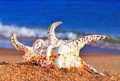 Όμορφο θαλασσινό κοχύλι στην άμμο παραλιών Στοκ Φωτογραφίες