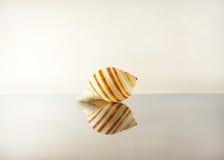όμορφο θαλασσινό κοχύλι Στοκ φωτογραφίες με δικαίωμα ελεύθερης χρήσης