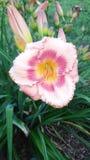 Όμορφο θερινό λουλούδι Στοκ φωτογραφία με δικαίωμα ελεύθερης χρήσης