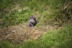 Όμορφο θηλυκό σέρνοντας μωρό putorisus mustelinae της Jill polecat Στοκ φωτογραφίες με δικαίωμα ελεύθερης χρήσης