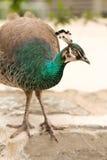 Όμορφο θηλυκό peacock Στοκ φωτογραφίες με δικαίωμα ελεύθερης χρήσης