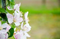 όμορφο διάνυσμα δέντρων απεικόνισης μήλων Άνθισμα του δέντρου μηλιάς πορτοκαλί δέντρο φυλλώματος ανθών ανασκόπησης Στοκ Εικόνα