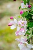 όμορφο διάνυσμα δέντρων απεικόνισης μήλων Άνθισμα του δέντρου μηλιάς πορτοκαλί δέντρο φυλλώματος ανθών ανασκόπησης Στοκ Φωτογραφία