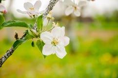 όμορφο διάνυσμα δέντρων απεικόνισης μήλων Άνθισμα του δέντρου μηλιάς πορτοκαλί δέντρο φυλλώματος ανθών ανασκόπησης Στοκ φωτογραφία με δικαίωμα ελεύθερης χρήσης