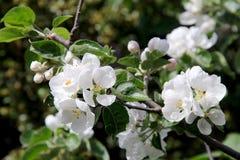 όμορφο διάνυσμα δέντρων απεικόνισης μήλων φωτογραφία Στοκ φωτογραφία με δικαίωμα ελεύθερης χρήσης