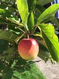 όμορφο διάνυσμα δέντρων απεικόνισης μήλων Στοκ Φωτογραφίες