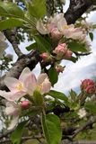όμορφο διάνυσμα δέντρων απεικόνισης μήλων Στοκ Εικόνες