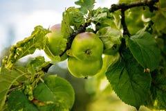 όμορφο διάνυσμα δέντρων απεικόνισης μήλων Στοκ Φωτογραφία